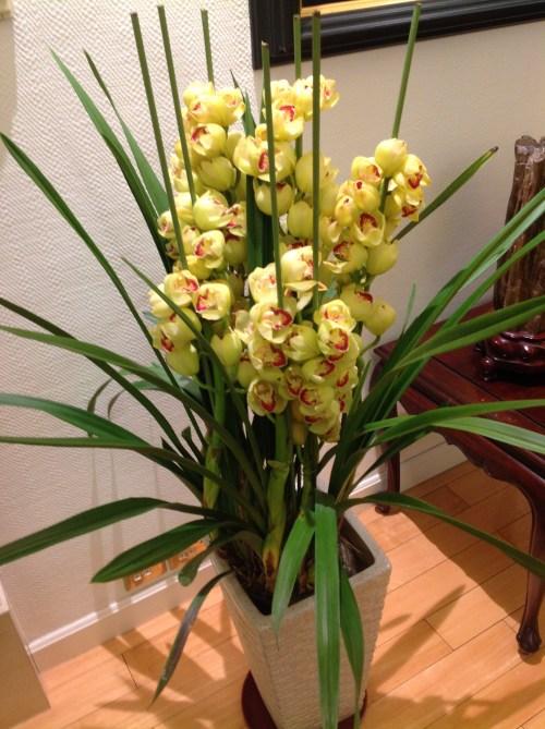 黃色的蘭花
