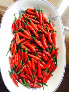 今年自栽辣椒的收獲